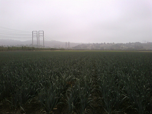 Green Onion Field, Moorpark, CA