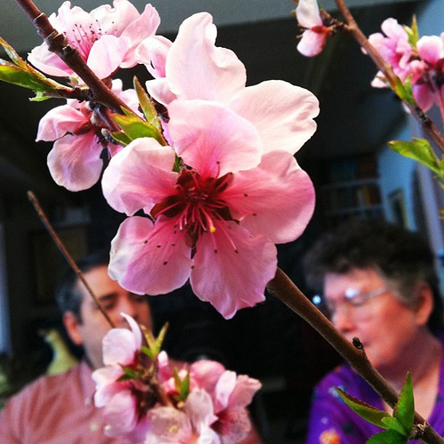 Peach blossoms with @artlung and Mom.